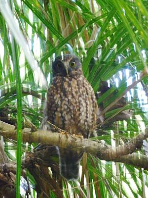 Photograph - Morepork Ruru Owl In Kie Kie Vine by Dianne  Connolly