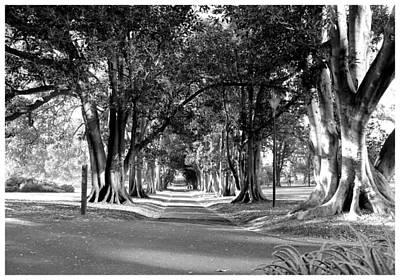 Photograph - Moreton Bay Fig Avenue by Frank Wickham