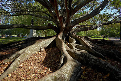 Ficus Photograph - Moreton Fig Tree (ficus Macrophylla by David Wall
