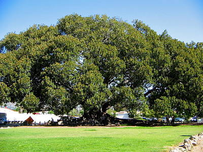 Moreton Fig Tree In Santa Barbara Art Print