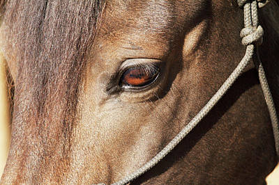 Morgan Horse Photograph - Morgan Horse Close-up At Stall by Piperanne Worcester