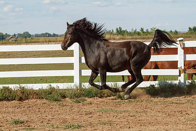 Morgan Horse Photograph - Morgan Horse Running Along White Fence by Piperanne Worcester
