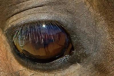 Morgan Horse Photograph - Morgan Horse With Starburst In Eye by Piperanne Worcester