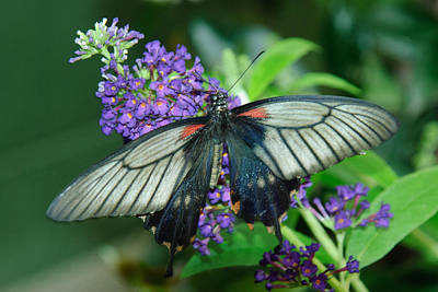Photograph - Mormon Butterfly by Tam Ryan