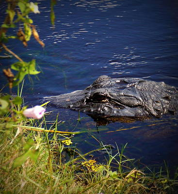 Photograph - Morning Alligator by Sheri McLeroy