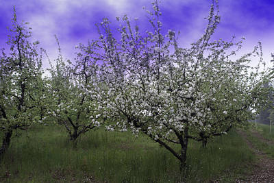 Photograph - Morning Apple Blooms by William Havle