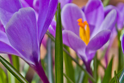 Photograph - Morning Bloom Of Crocus by Kathy Nairn