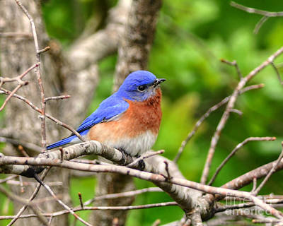 Photograph - Morning Bluebird by Kathy Baccari
