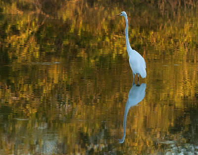 Photograph - Great Egret by Tam Ryan