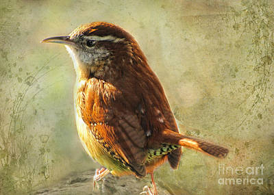 Morning Carolina Wren Art Print