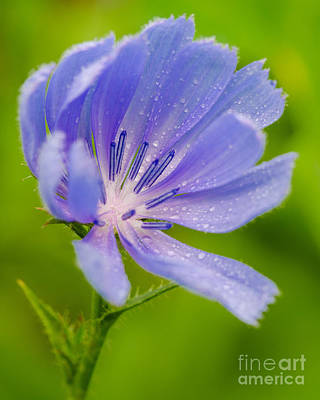 Photograph - Morning Chickory by Anthony Heflin