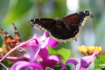 Photograph - Morning Cloak Sunning by Susan Herber