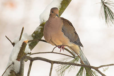 Morning Dove Photograph - Morning Dove by Everet Regal