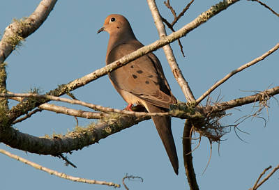 Photograph - Morning Dove by John Black