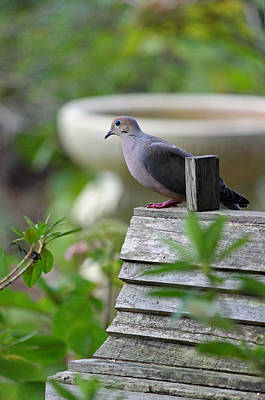 Morning Dove Photograph - Morning Dove by Suzanne Gaff