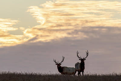 Photograph - Morning Elk by Scott Bean