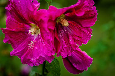 Photograph - Hollyhocks By The Road by Gene Sherrill
