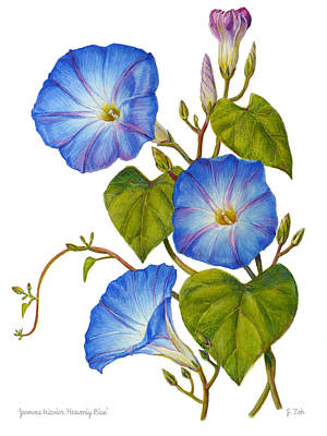 Painting - Morning Glories - Ipomoea Tricolor Heavenly Blue by Janet Zeh