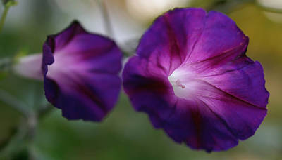 Photograph - Morning Glories by Julie VanDore