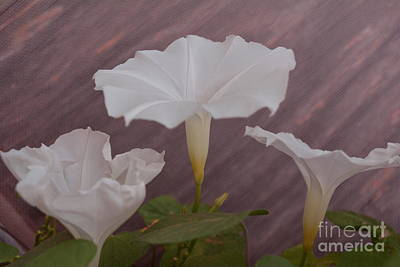 Photograph - Morning Glory 3 by Lne Kirkes