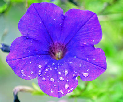 Photograph - Morning Glory After Summer Shower by Richard Bryce and Family