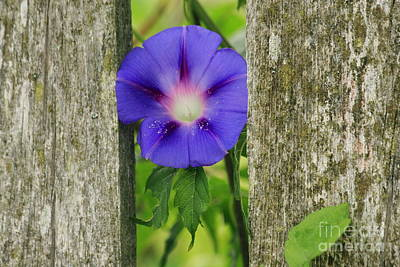 Photograph - Morning Glory And Fence 2 by Roger Soule