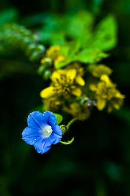 Photograph - Morning Glory And Wingstem by Lori Coleman