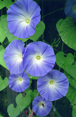 Morning Glories Photograph - Morning Glory by Anna Miller