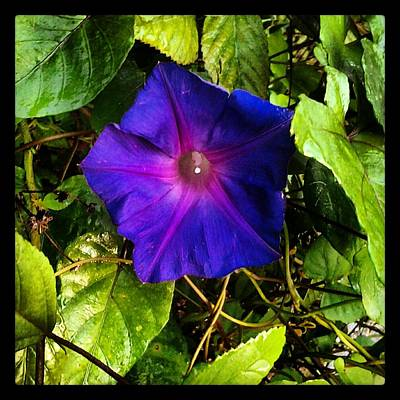 Photograph - Morning Glory  by Chasity Johnson