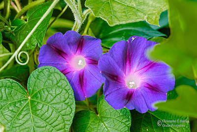 Photograph - Morning Glory by Christopher Holmes