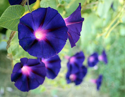 Photograph - Morning Glory Climbing by Kristy Jeppson
