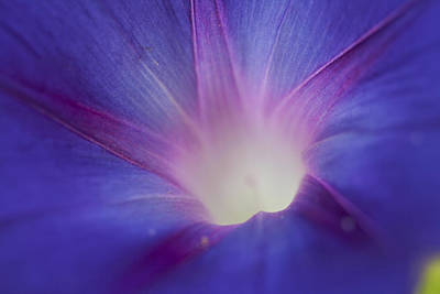Photograph - Morning Glory Close-up by Robert Camp