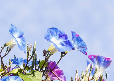Photograph - Morning Glory Flowers by Gabriele Pomykaj