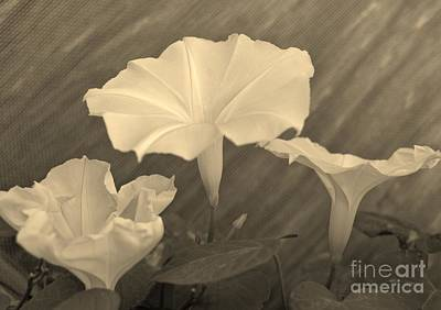 Photograph - Morning Glory In Sepia by Lne Kirkes