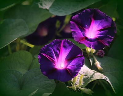 Morning Glory Light Original