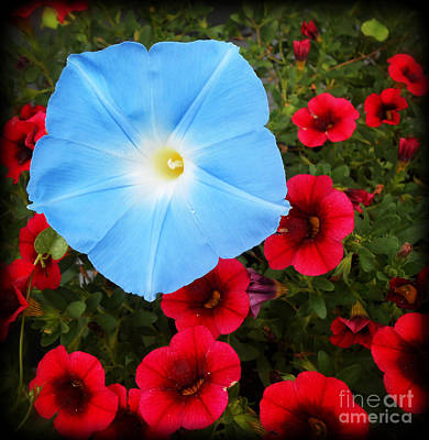 Photograph - Morning Glory Magic by Eva Thomas