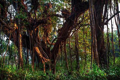Photograph - Morning Glory Of Banyan Tree. India by Jenny Rainbow