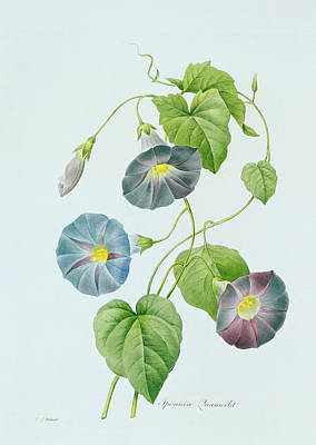 Blending Painting - Morning Glory by Pierre Joseph Redoute