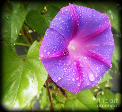 Photograph - Morning Glory Tears by Eva Thomas