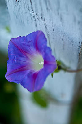 Photograph - Morning Glory by Thomas Hall