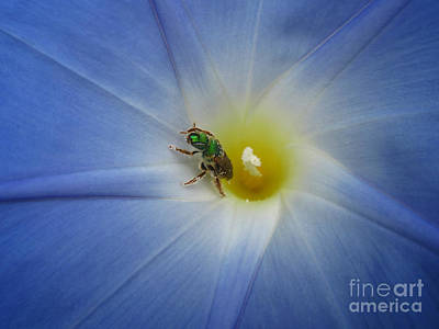 Photograph - Morning Glory Visitor 1 by Janet Otto