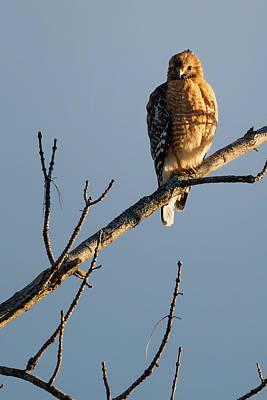 Birds Photograph - Morning Hawk by Bill Wakeley
