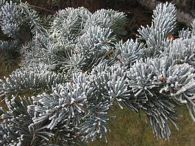 Photograph - Morning Hoar Frost On A Blue Spruce by Donald S Hall