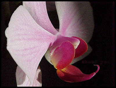 Orchids Photograph - Morning Light Orchid 2 And A Reminder To Utter The Words Thank You. by Raenell Ochampaugh