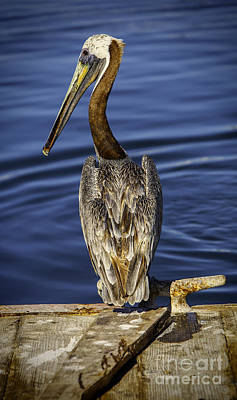 Shore Photograph - Morning Pelican by David Millenheft
