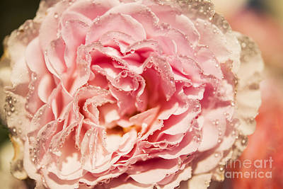 Photograph - Morning Rose by Gry Thunes