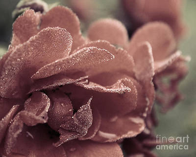 Photograph - Morning Rose by Melissa Petrey