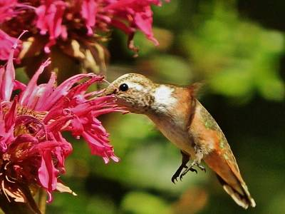 Photograph - Morning Rufous by VLee Watson