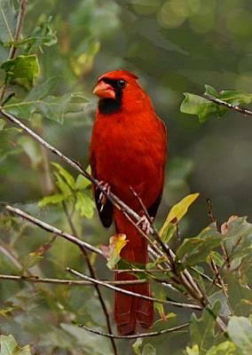 Cardinals Photograph - Morning Sentry by Suzi Harr