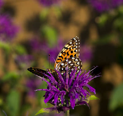 Photograph - Morning Silverspot by Dan Hefle